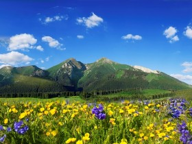 Wildflowers in bloom atop Baldy Mountain in Summit County, Colorado.